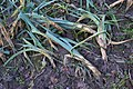 Allium ampeloprasum var. porrum with Erwinia carotovora subsp. carotovora (02).jpg