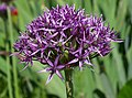 Allium atropurpureum 2012.jpg