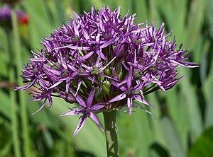 Allium atropurpureum - Allium atropurpureum