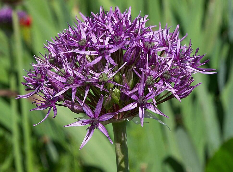 Allium atropurpureum 2012