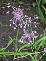 Allium carinatum subsp. pulchellum Czosnek nadobny 2009-07-11 01.jpg