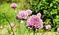 Allium maximowiczii 2.jpg