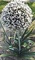 Allium porrum-2F.jpg
