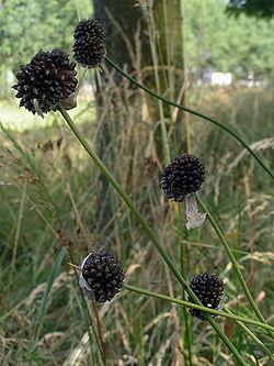 Allium vineale01.jpg