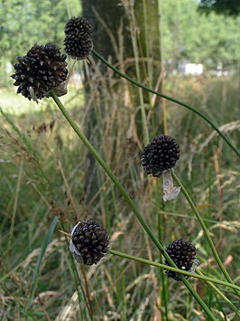 Kraailook (Allium vineale)