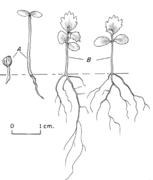 Alnus seedling drawing.png