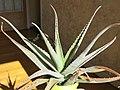 Aloe vera D190512.jpg