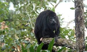 Guatemalan black howler - Male Guatemalan black howler.