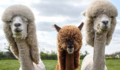 Alpacas with mullets.png