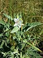 Althaea officinalis sl2.jpg