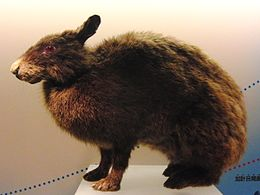 Amami rabbit Stuffed specimen.jpg