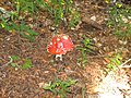 Amanita muscaria france 2007 - 4.jpg