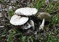 Amanita ovoidea 1.jpg