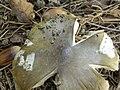 Amanita phalloides 70281121.jpg