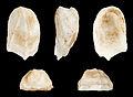 Amathina tricarinata 01.JPG