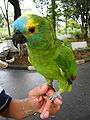 Amazona aestiva -pet perching on hand-8a.jpg