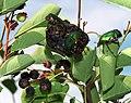 Amelanchier ovalis & Cetonia aurata2.JPG