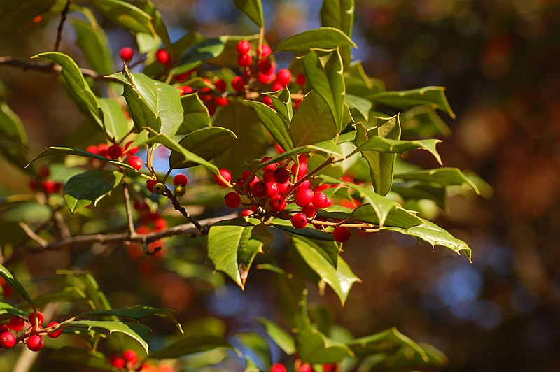 American Holly Ilex opaca Berries 3008px