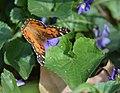American Lady butterfly (34112687942).jpg