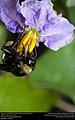 American bumblebee (Apidae, Bombus pensylvanicus) (29595882314).jpg