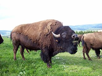 Bovini - American bison a species that lives on the open plains of North America.