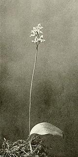 Amerorchis rotundifolia WFNY-f007.jpg