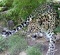 Amur Leopard 6.jpg