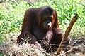 An elderly orangutan (11932604576).jpg