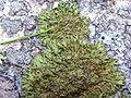 Anaptychia runcinata thalle jeune.jpg