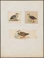 Anas poekilorhyncha - 1700-1880 - Print - Iconographia Zoologica - Special Collections University of Amsterdam - UBA01 IZ17600389.tif