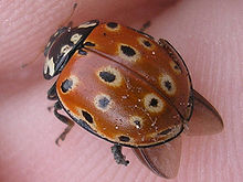 Anatis ocellata (Oogvlek-LHB) wings sticking out2.jpg