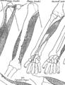 Anatomia Britannica- a system of anatomy Fleuron N001319-34.png
