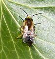 Andrena dorsata possibly - Flickr - gailhampshire.jpg
