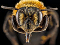 Andrena lupinorum, female, face 2012-08-03-16.37.36 ZS PMax (8092378840).jpg