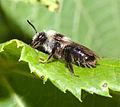 Andrena vaga Morsan.jpg