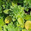 Androsace sarmentosa in La Jaysinia (5).jpg