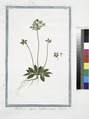 Androsace vulgaris latifolia annua (NYPL b14444147-1125031).tiff