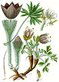 Anemone spp Sturm42.jpg