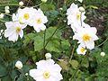 Anemone x hybrida White Queen ABL.JPG