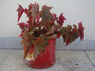Begonia - A potted angel wing begonia (Begonia aconitifolia × B. coccinea)