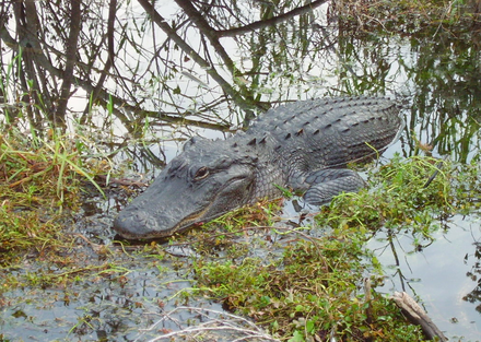 An alligator in the Florida Everglades Anhingatrailalligator.png