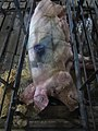 Animal Cruelty Iowa Select Farms IS 2011-05-30 18 (5841337334).jpg