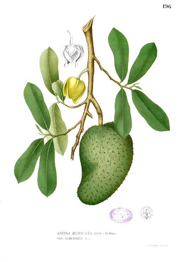 Plant Soursop