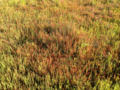 Annual Glasswort (5600850215).png