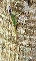 Anolis extremus-n04.jpg