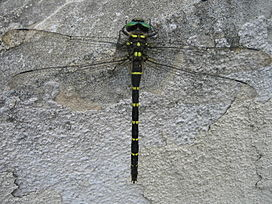 Anotogaster sieboldii on wall.jpg