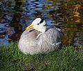 Anser indicus- Streifengans Englischer Garten Muenchen-2.jpg