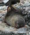 Antarctic Fur Seal at Point Wild, Elephant Island (6019677352).jpg