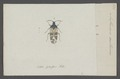 Anthocoris - Print - Iconographia Zoologica - Special Collections University of Amsterdam - UBAINV0274 040 07 0014.tif
