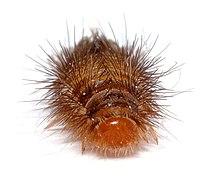 Anthrenus verbasci - larva front (aka).jpg